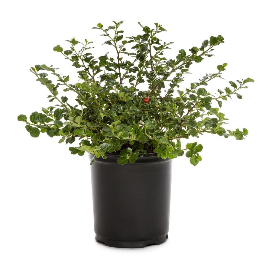 2.5-Quart White Bearberry Cotoneaster Flowering Shrub (L5176)