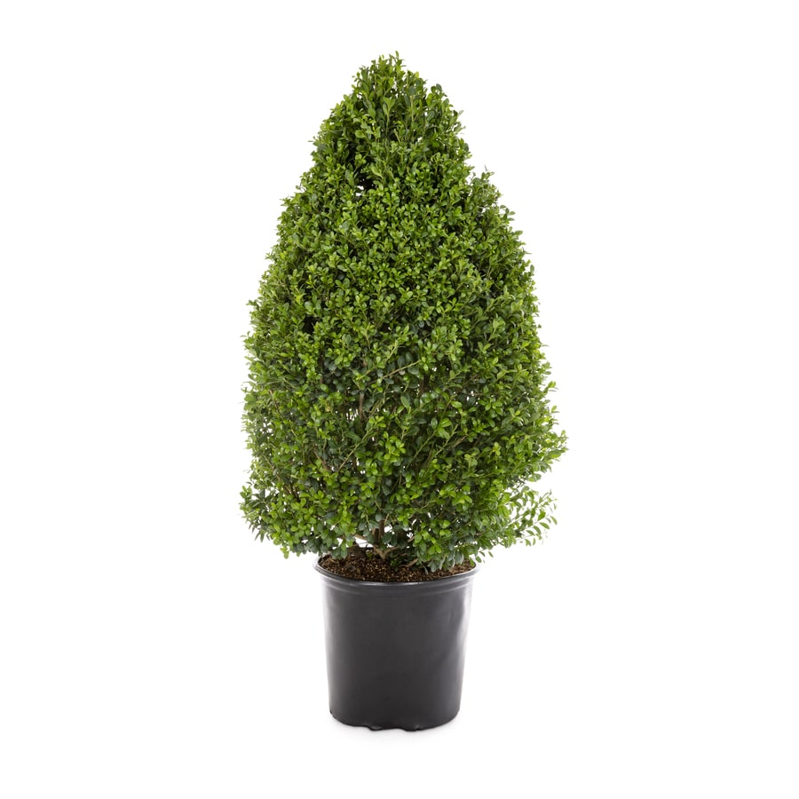 2.25-Gallon Coned Dwarf Japanese Holly Feature Shrub (LW00390)