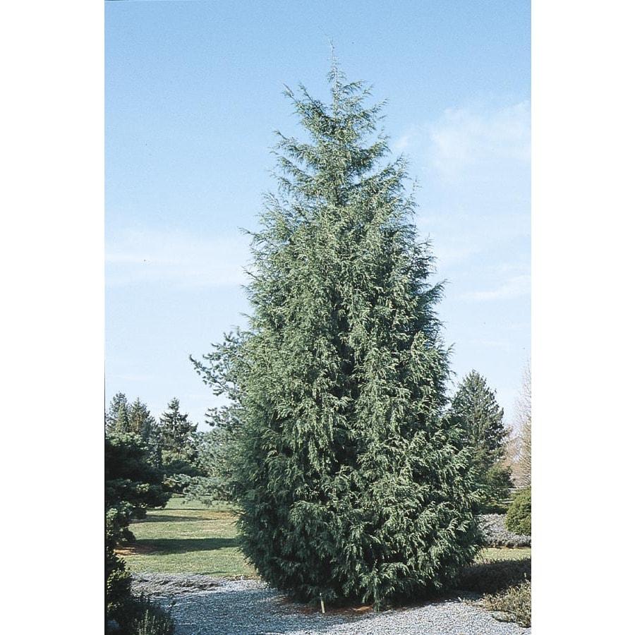 2.25-Gallon Naylor's Blue Leyland Cypress Screening Tree (L5088)
