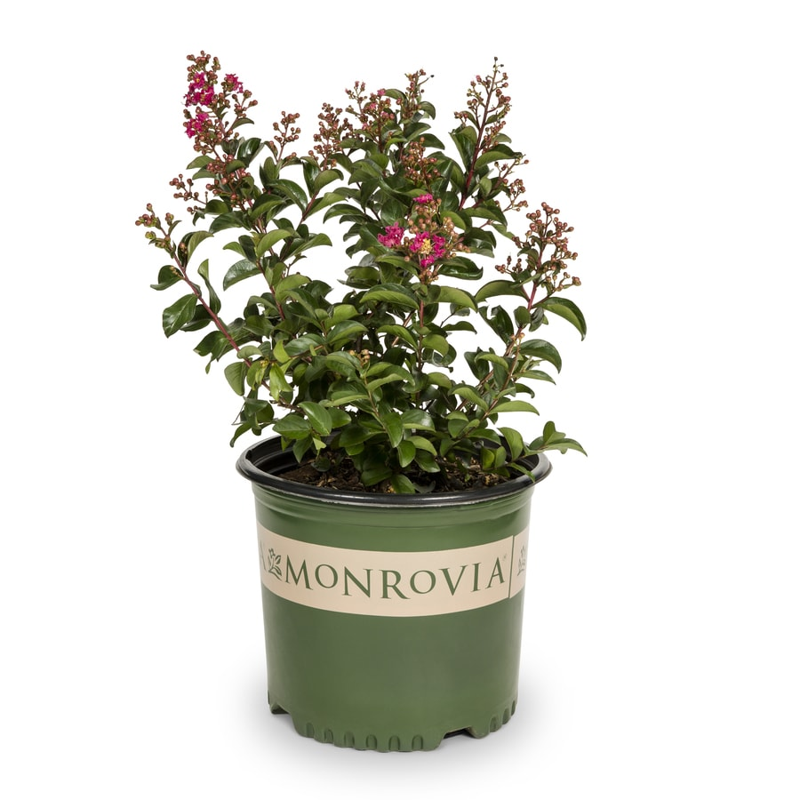 2.25-Gallon Red Cherry Dazzle Dwarf Crape Myrtle Flowering Shrub (L20896)