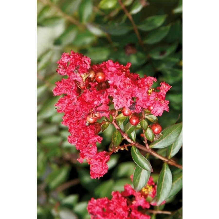 1-Gallon Red Cherry Dazzle Dwarf Crape Myrtle Flowering Shrub (L20896)