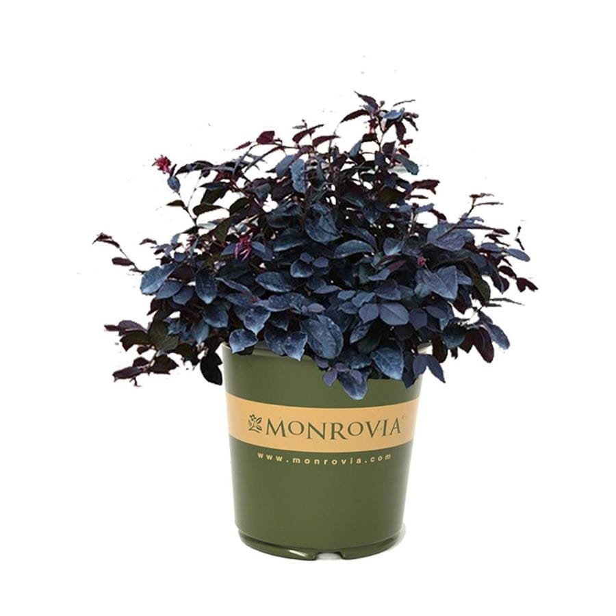 Monrovia 1-Gallon Pink Loropetalum Flowering Shrub