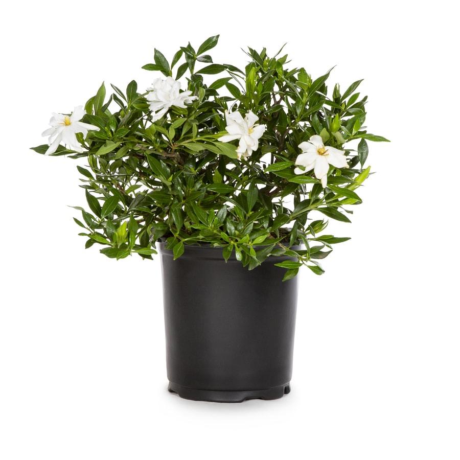 2.5-Quart White Radicans Dwarf Gardenia Flowering Shrub (L5279)