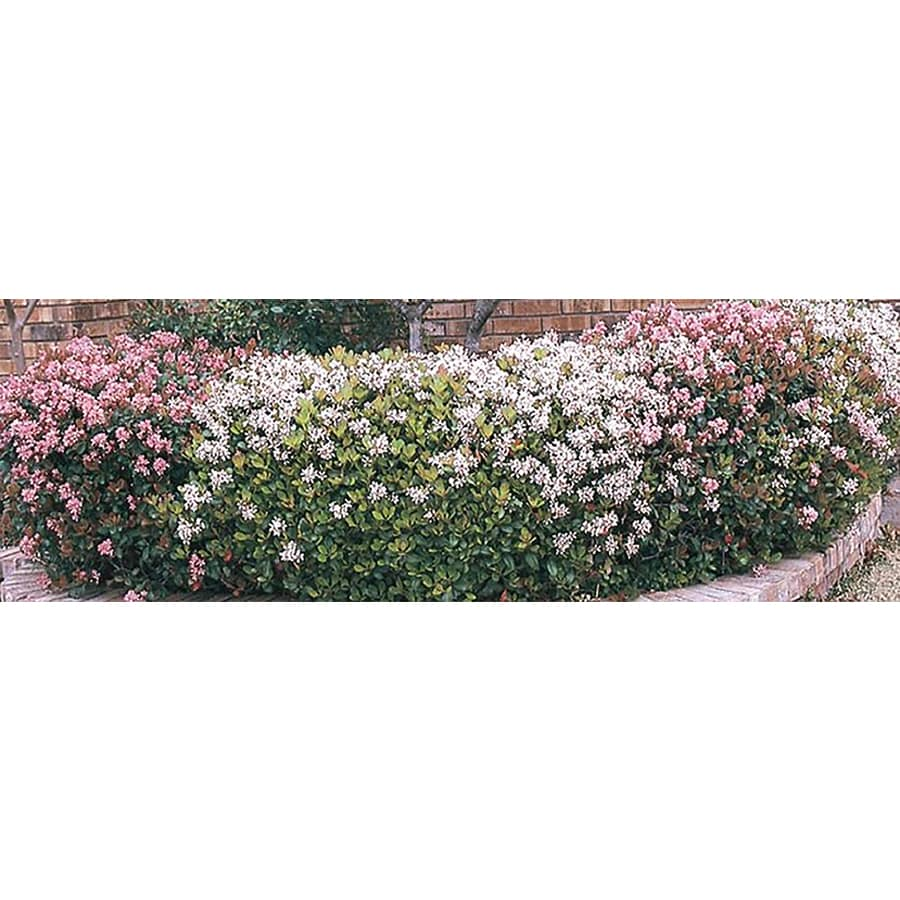 3.25-Gallon Mixed Indian Hawthorn Foundation/Hedge Shrub (L11166)