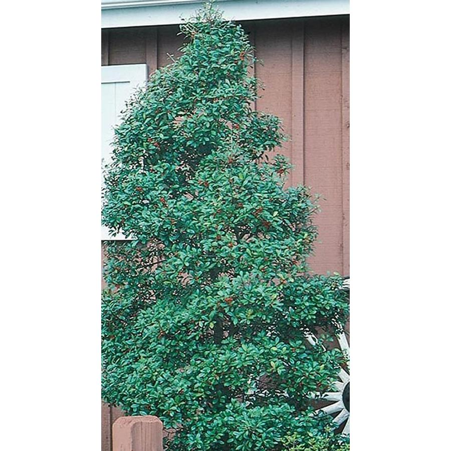 10.25-Quart Foster Holly Feature Shrub (L5287)