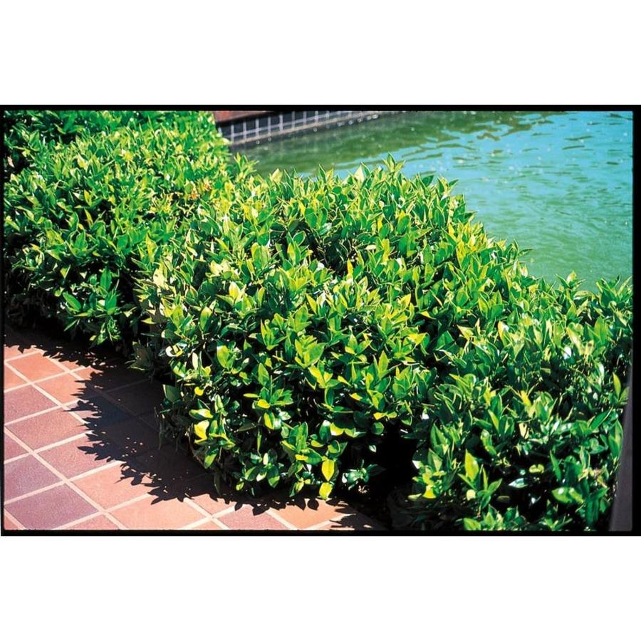 2.25-Gallon Carissa Holly Foundation/Hedge Shrub (L4374)
