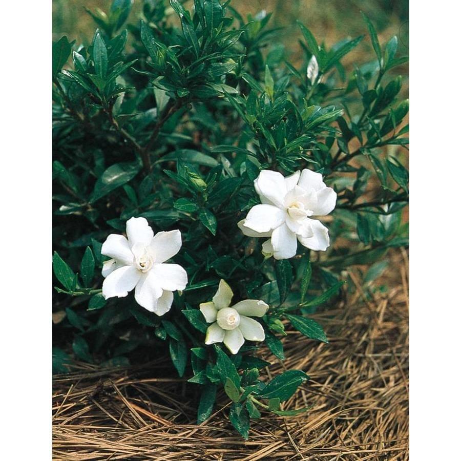 2.25-Quart White Radicans Dwarf Gardenia Flowering Shrub (L5279)