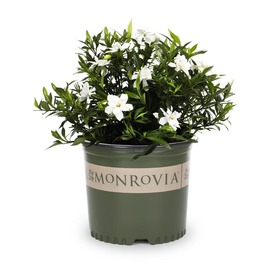 2.25-Gallon White Heaven Scent Gardenia Flowering Shrub (L20905)