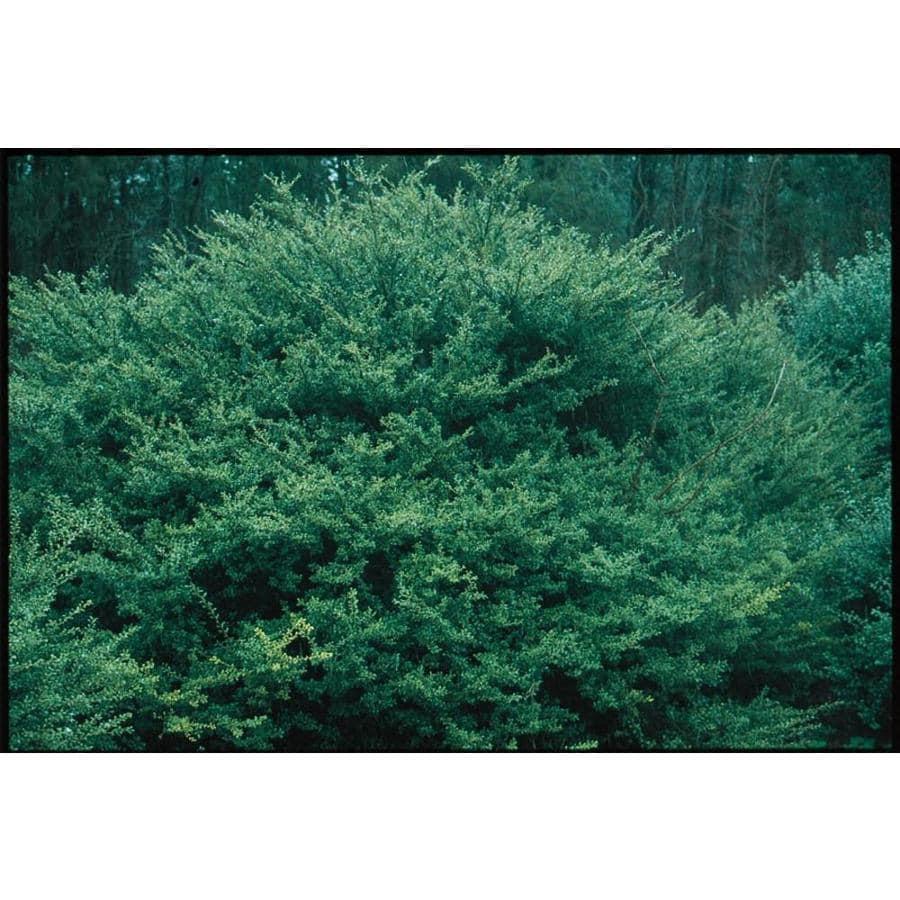 5.5-Gallon Highlander Japanese Holly Foundation/Hedge Shrub (L14401)