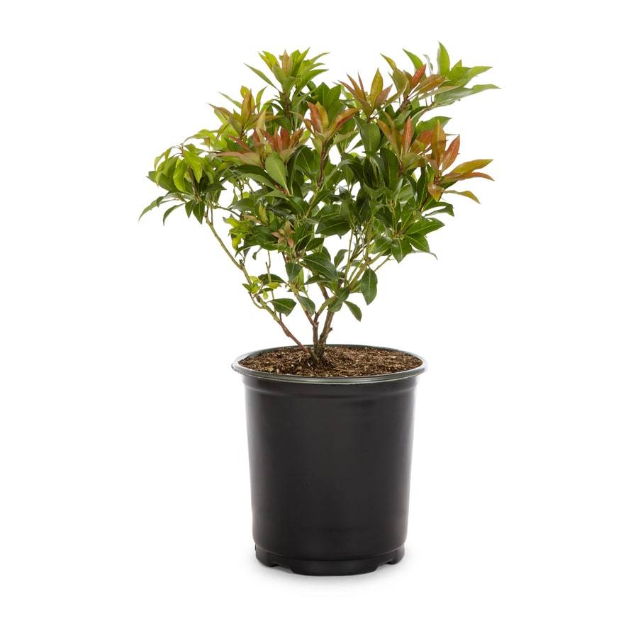 2.5-Quart Mixed Japanese Pieris Flowering Shrub (L5402)