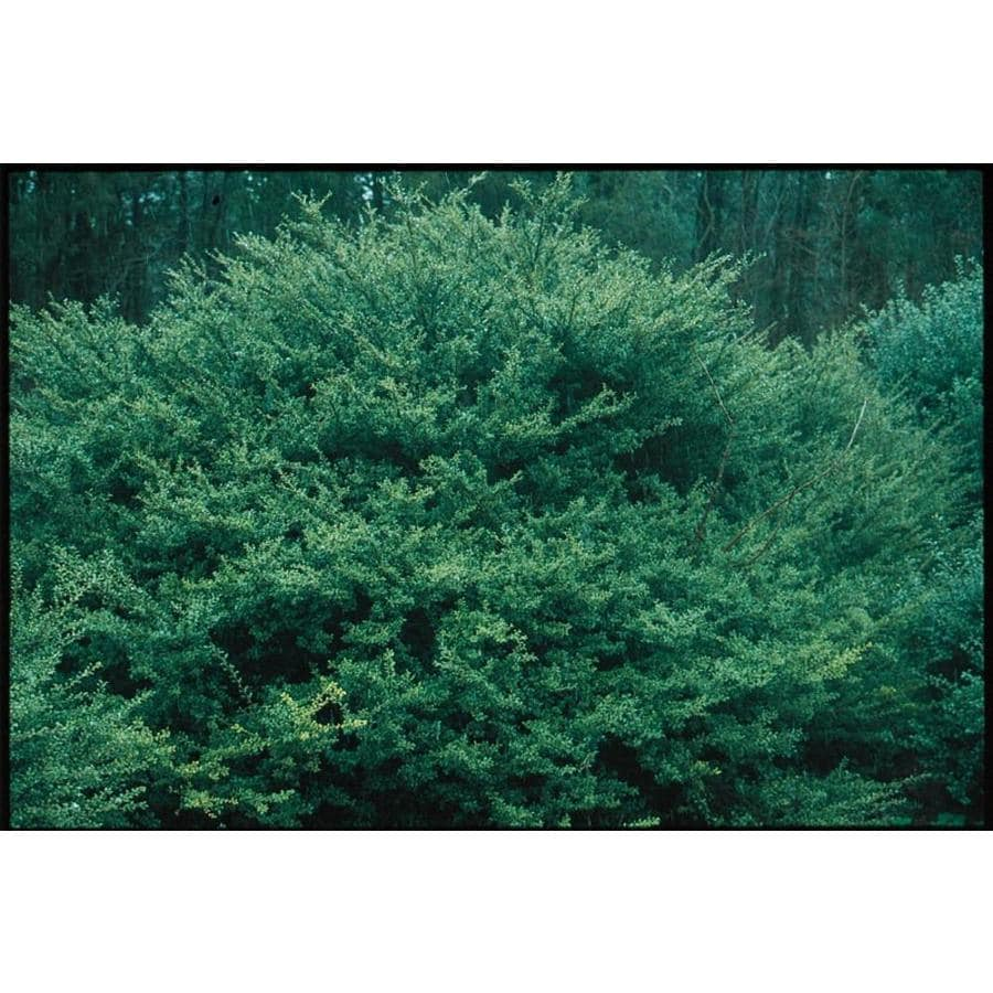 3.25-Gallon Highlander Japanese Holly Foundation/Hedge Shrub (L14401)