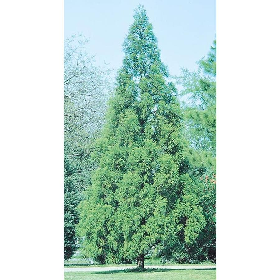 10.25-Gallon Cryptomeria Feature Tree (L6585)