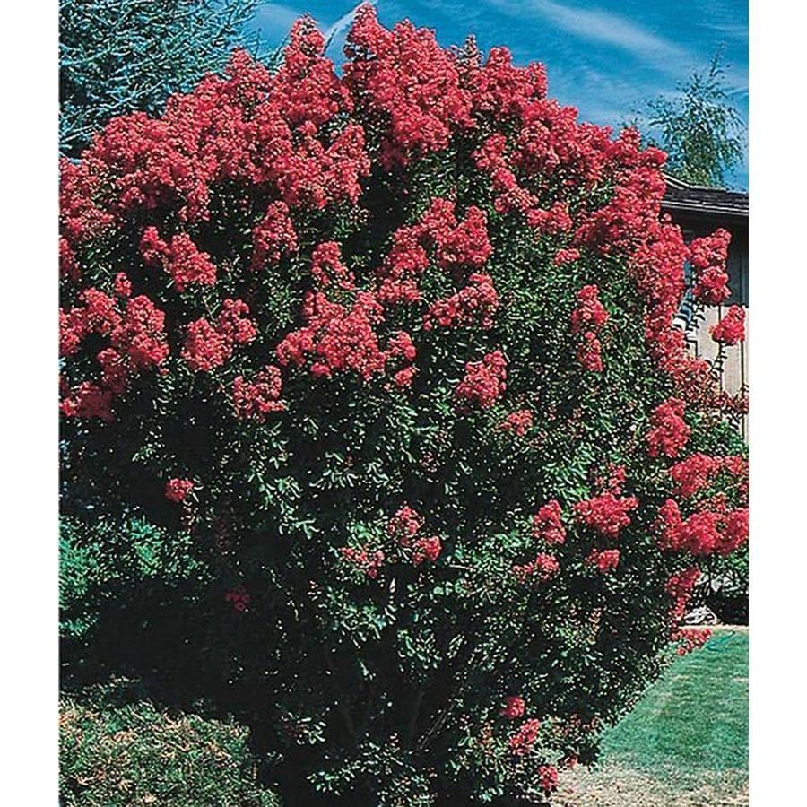 2.25-Gallon Crape Myrtle Flowering Tree (L6644)