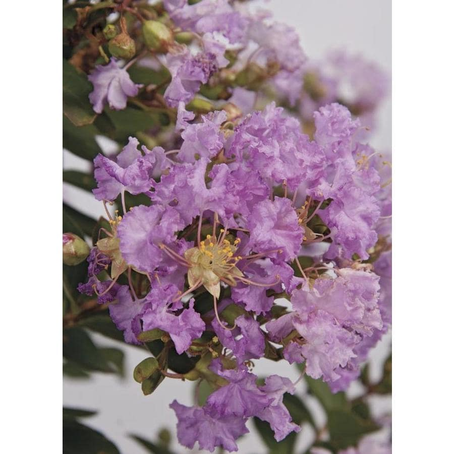 3-Gallon Early Bird Lavender Crape Myrtle Flowering Tree (L23459)