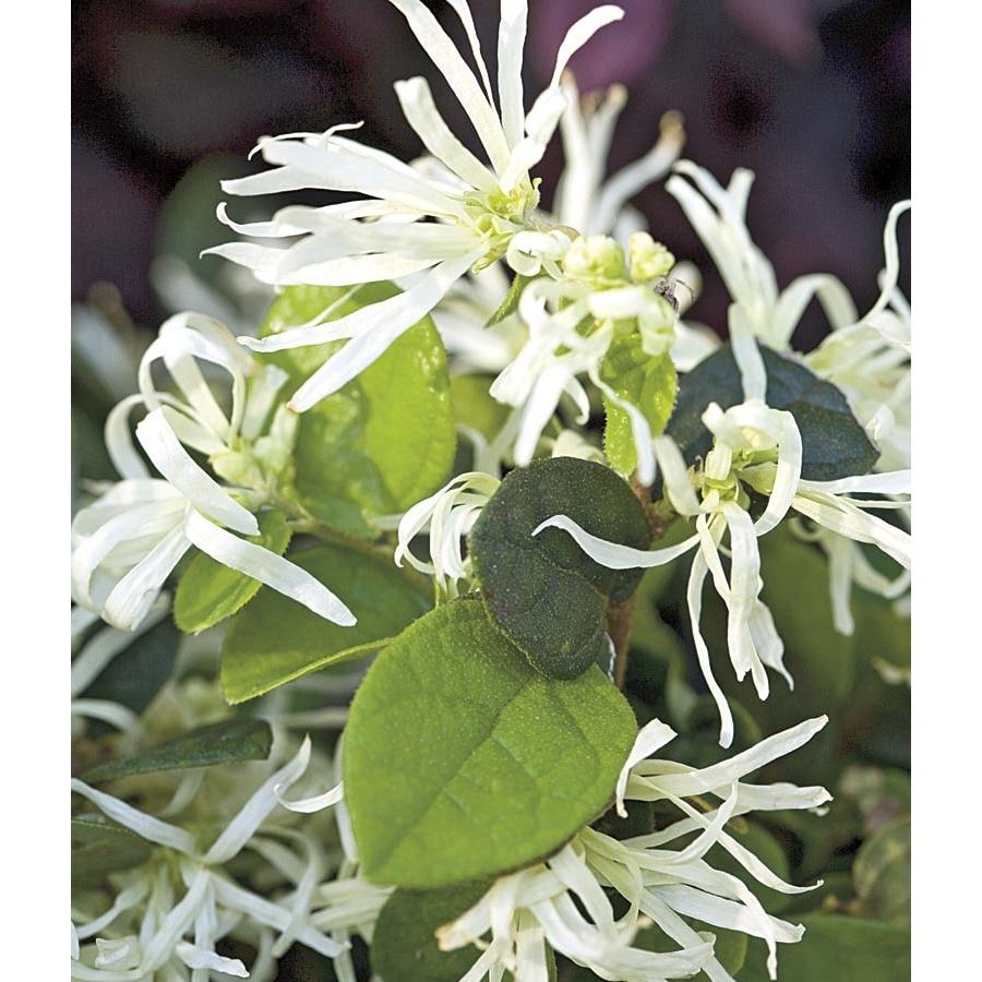 3-Gallon White Emerald Snow Loropetalum Accent Shrub (L23336)