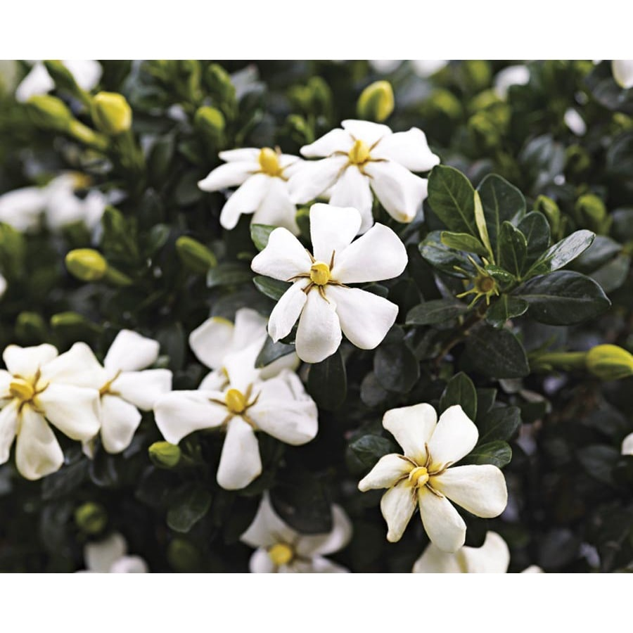 White Heaven Scent Gardenia Flowering Shrub In Pot With