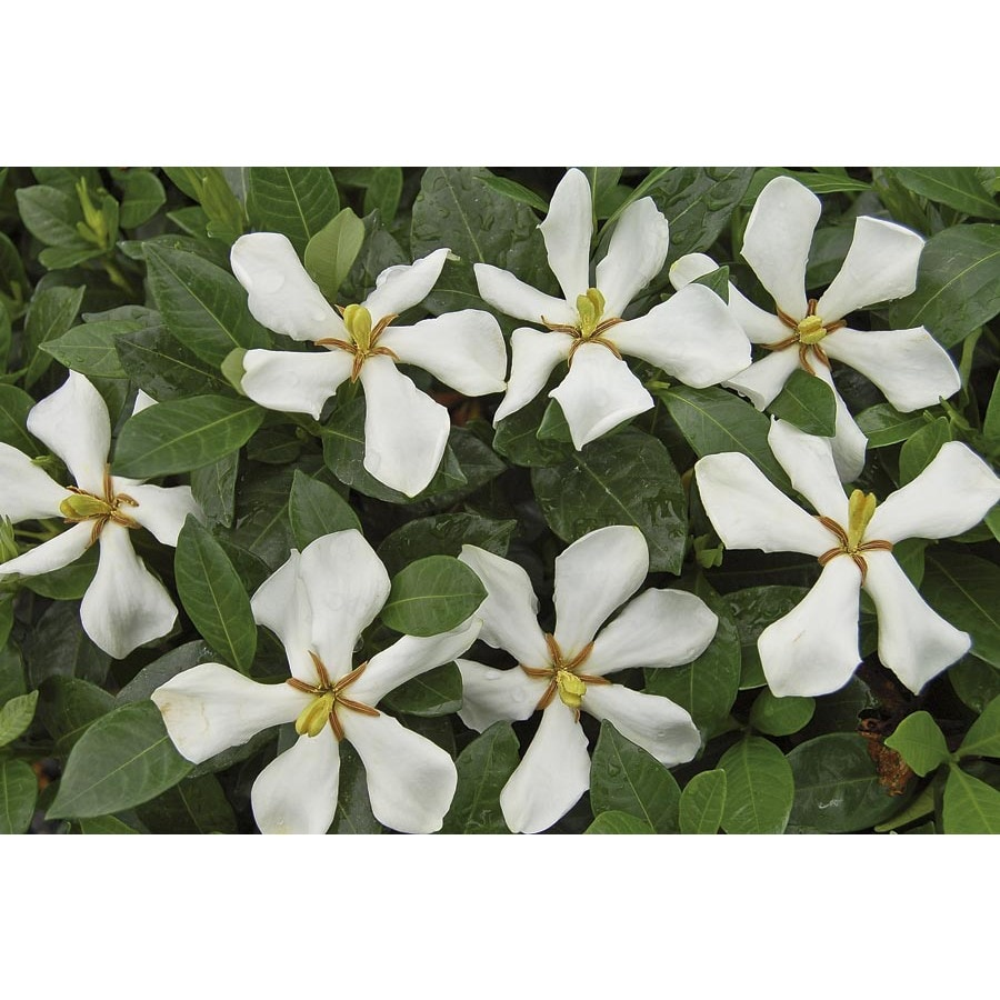 1-Gallon White Pinwheel Gardenia Flowering Shrub (L23287)