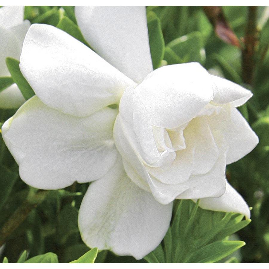 3 Gallon White Jubilation Gardenia Flowering Shrub (L23343)