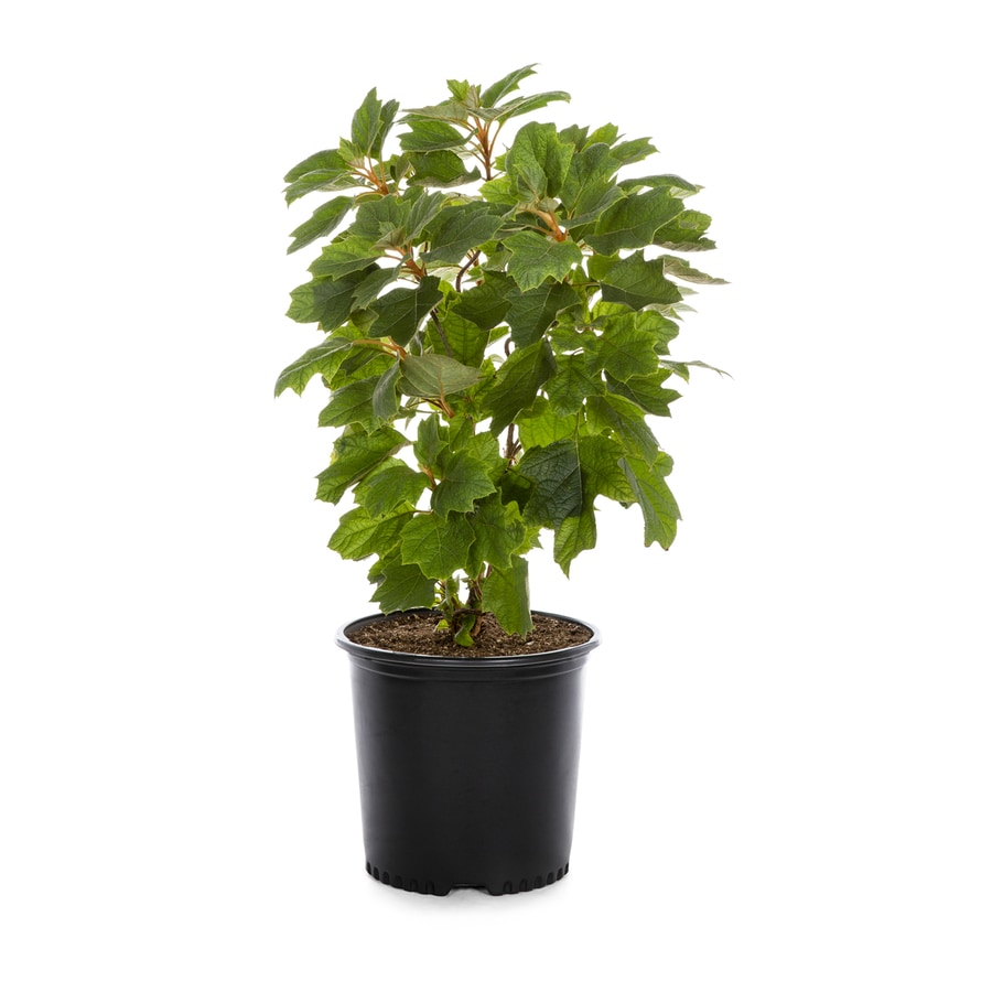 2.25-Gallon White Oakleaf Hydrangea Flowering Shrub (L1233)