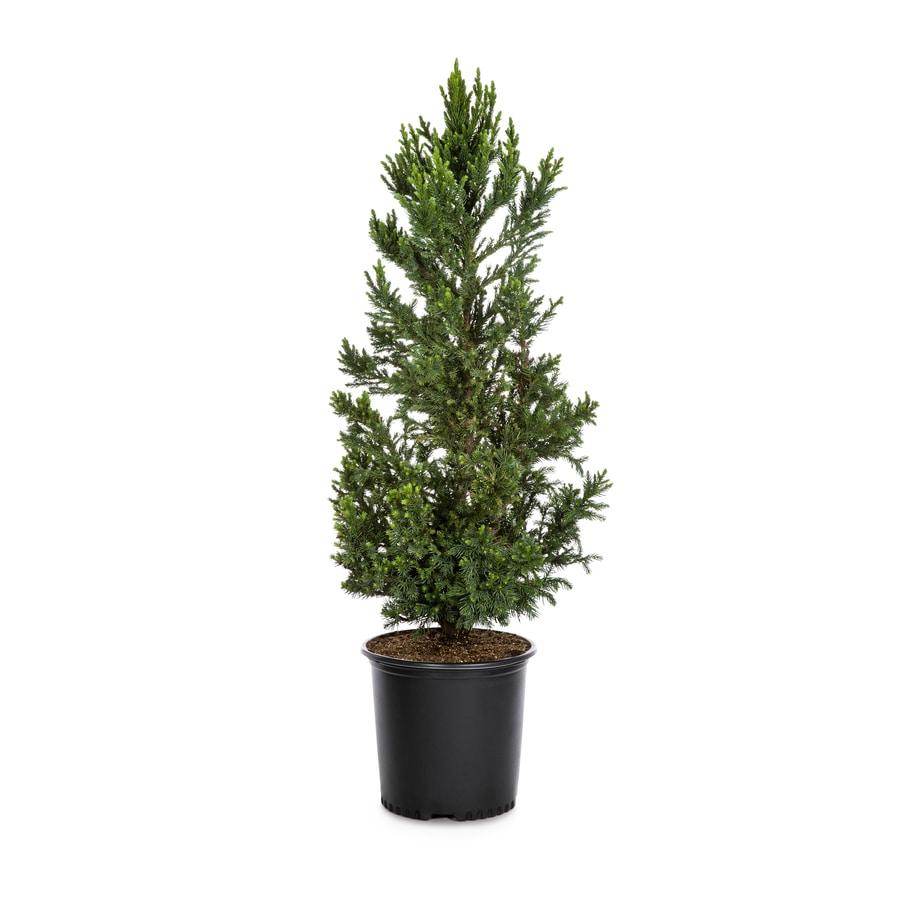 2.62-Gallon Black Dragon Cryptomeria Feature Tree (LW02534)