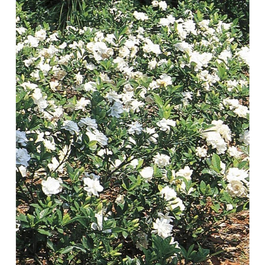 2.5 Quart(S) White Gardenia Flowering Shrub (L5150)
