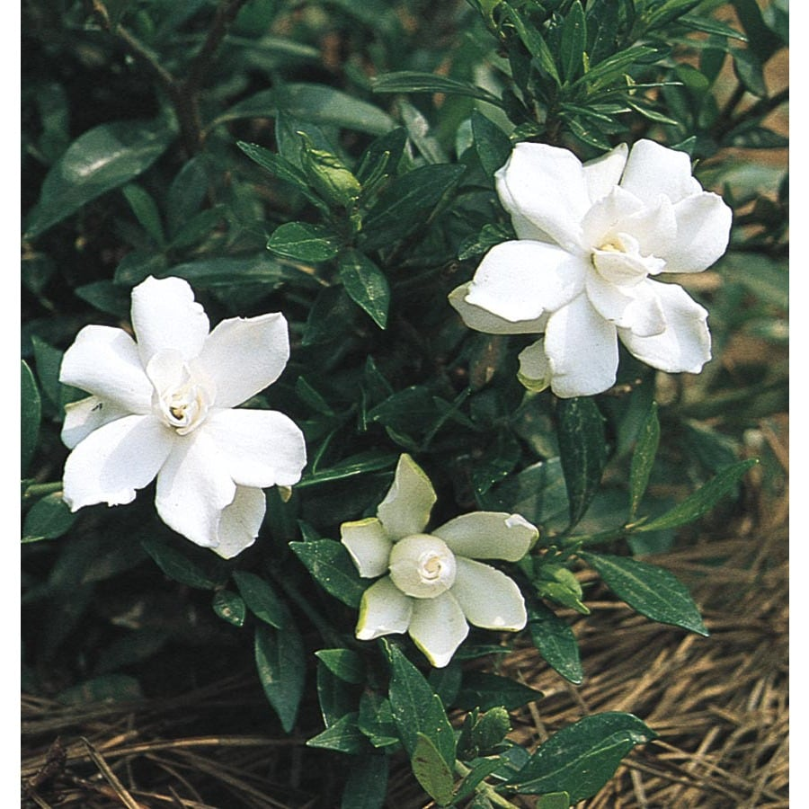 2.25-Gallon White Radicans Dwarf Gardenia Flowering Shrub (L5279)