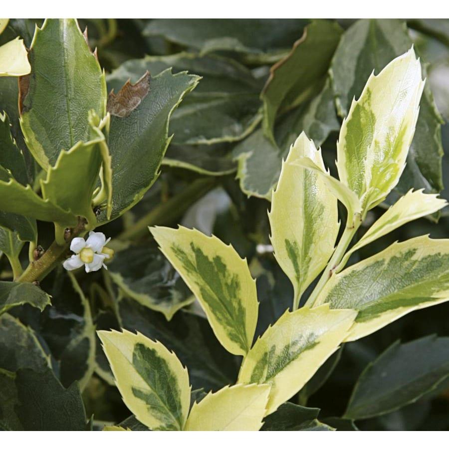 2.62-Gallon Honey Maid Blue Holly Foundation/Hedge Shrub (LW02138)