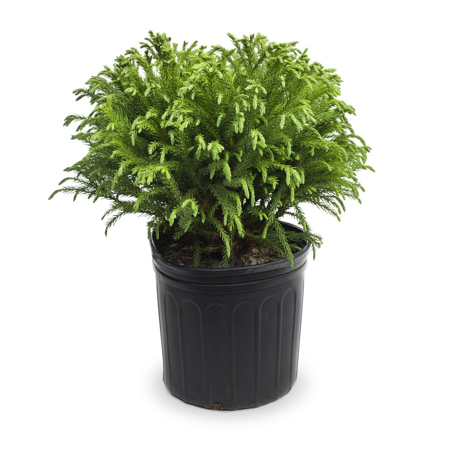 2.25-Gallon Gold Thread False Cypress Accent Shrub (L5169)
