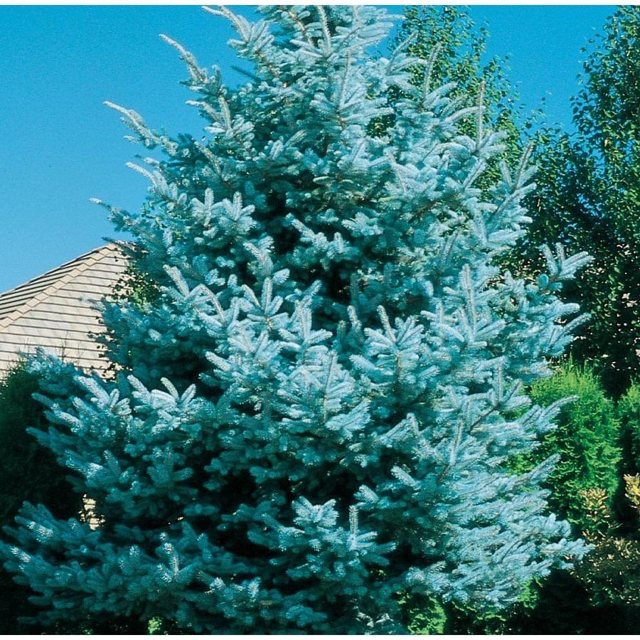 2 25 Gallon Baby Blue Colorado Spruce Feature Tree Lw03826