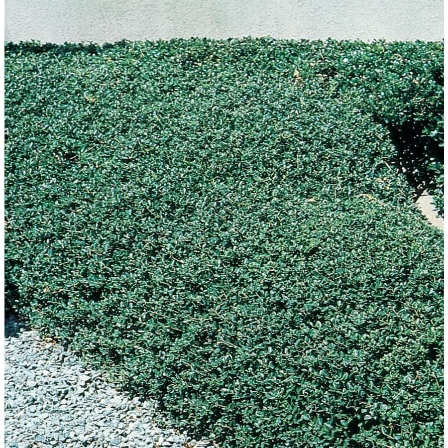 2.25-Gallon Beehive Japanese Holly Foundation/Hedge Shrub (L5104)
