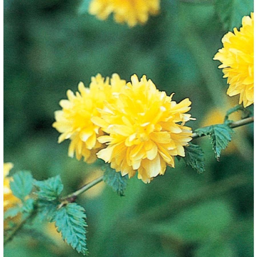 2.25-Gallon Yellow Double-Flowering Kerria Flowering Shrub (L21447)