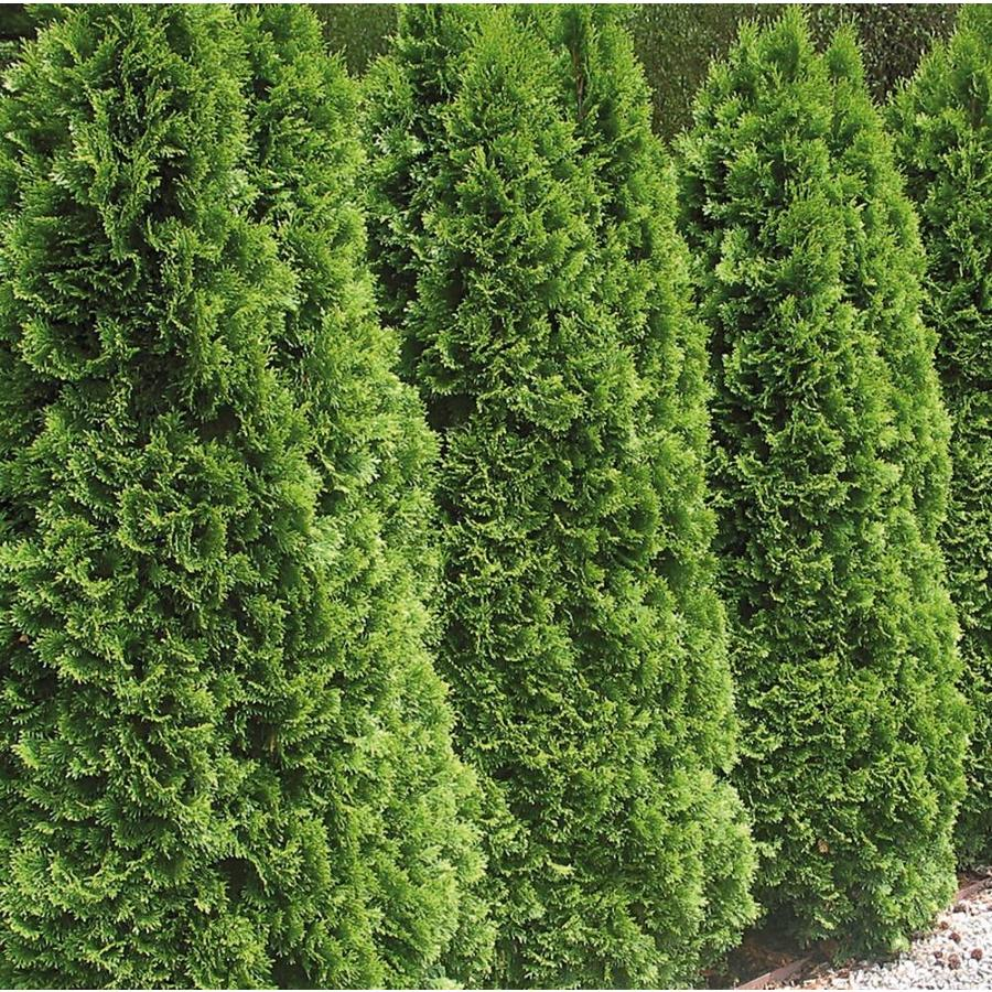 12.33-Gallon Emerald Green Arborvitae Screening Shrub (L5480)