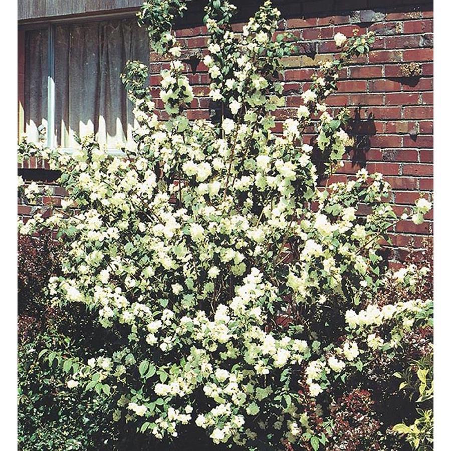 3.25-Gallon White Mockorange Flowering Shrub (L8335)