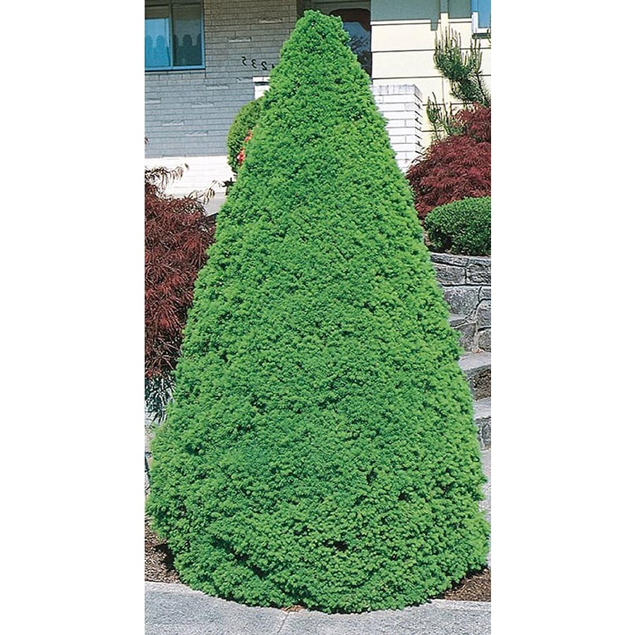 2.25-Gallon Dwarf Alberta Spruce Feature Shrub (L8449)