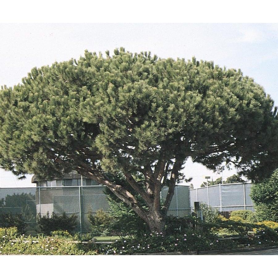 5.5-Gallon Italian Stone Pine Feature Tree (L5854)