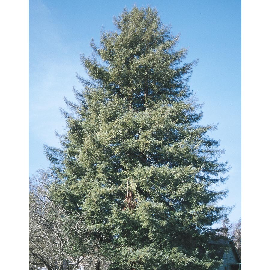 1-Gallon Coast Redwood Feature Tree (L23063)