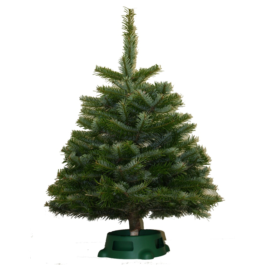 2-5 ft Noble Fir Real Christmas Tree at Lowes.com