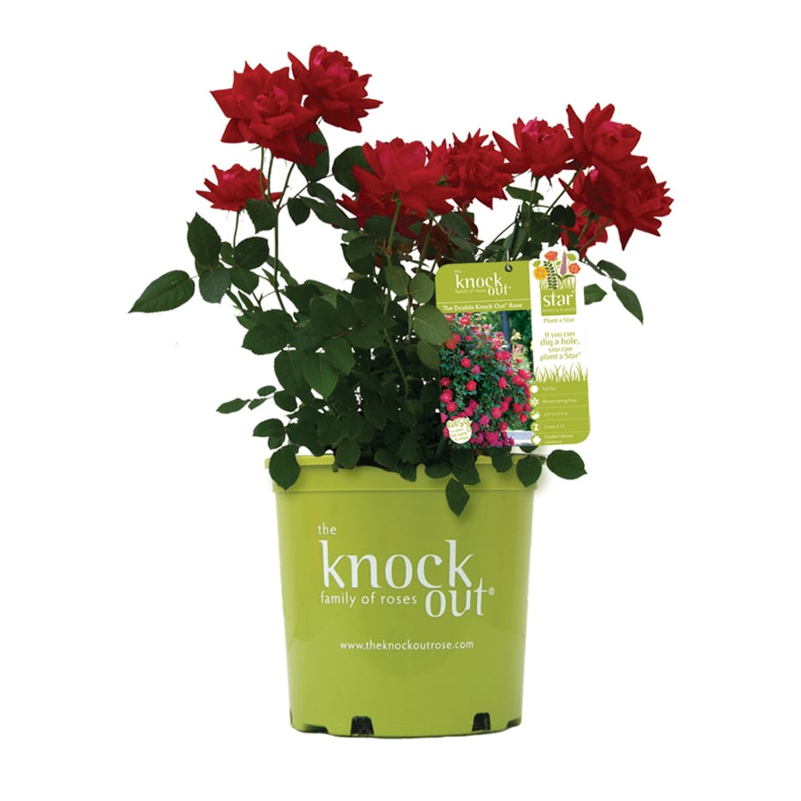 Shop Pot Double Knock Out Rose Red At Lowes Com