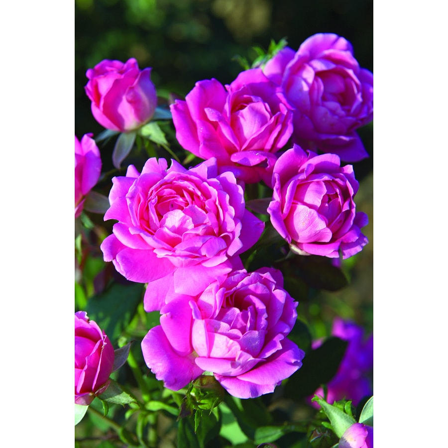 Pot Double Knock Out Rose Pink
