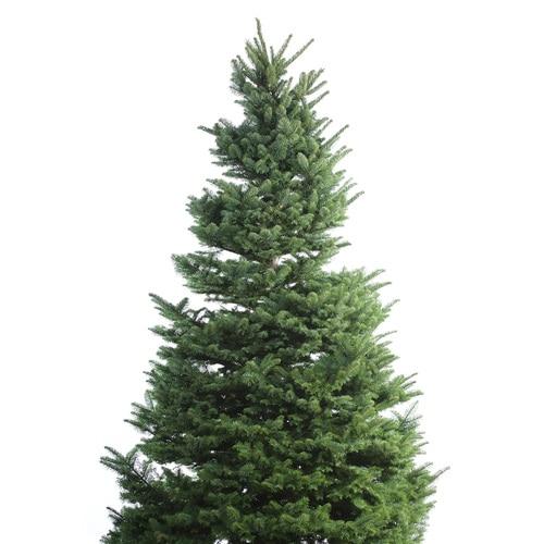 10'-11' Fresh-Cut Noble Fir Christmas Tree at Lowes.com
