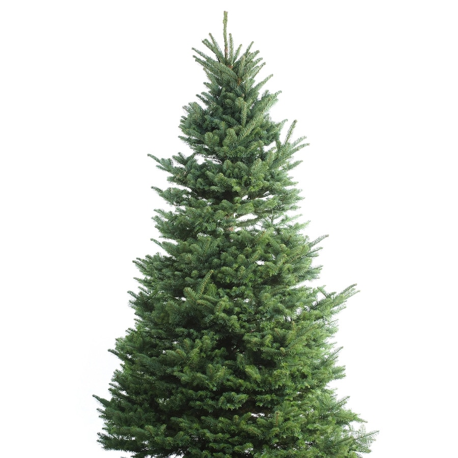 11'-12' Fresh-Cut Noble Fir Christmas Tree At Lowes.com