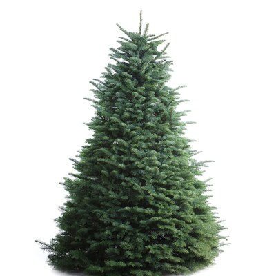 Noble Fir Christmas Tree.6 7 Ft Noble Fir Real Christmas Tree At Lowes Com