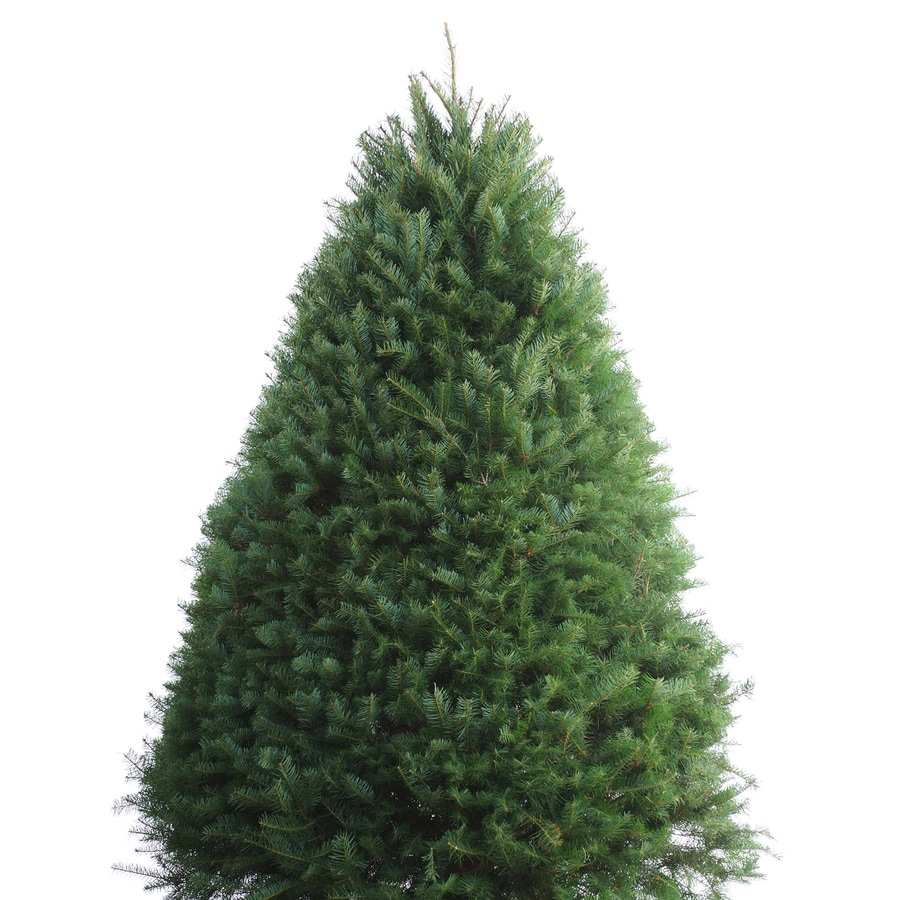 7 8 ft fresh douglas fir christmas tree - 8 Ft Christmas Tree