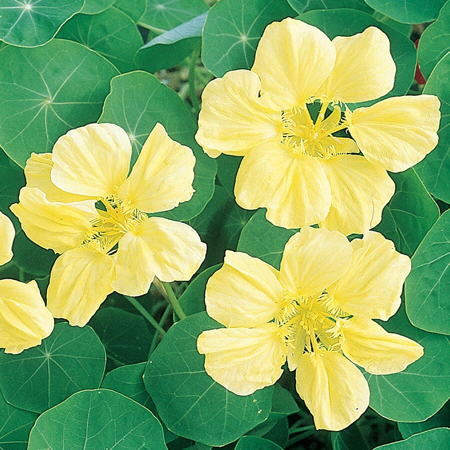 Burpee Moonlight Nasturtium Seed Packet