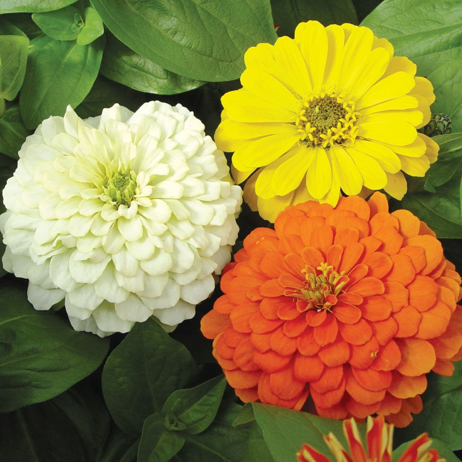 Burpee Citrus Mix Zinnia Seed Packet
