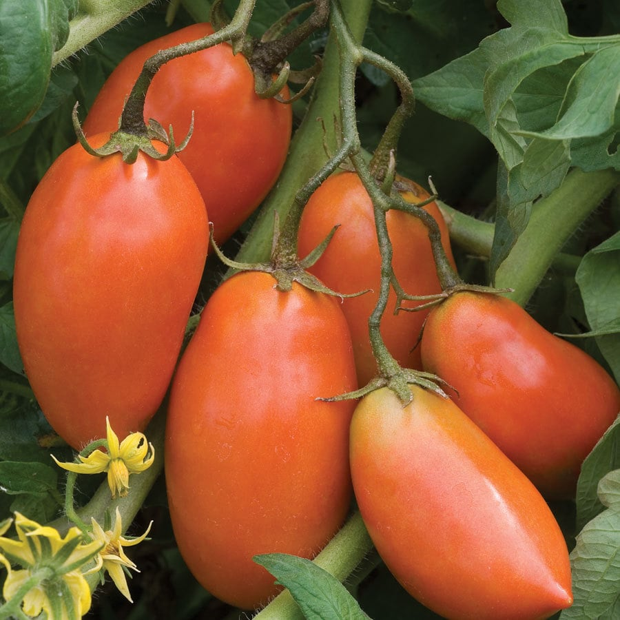Burpee San Marzano Tomato Seed Packet