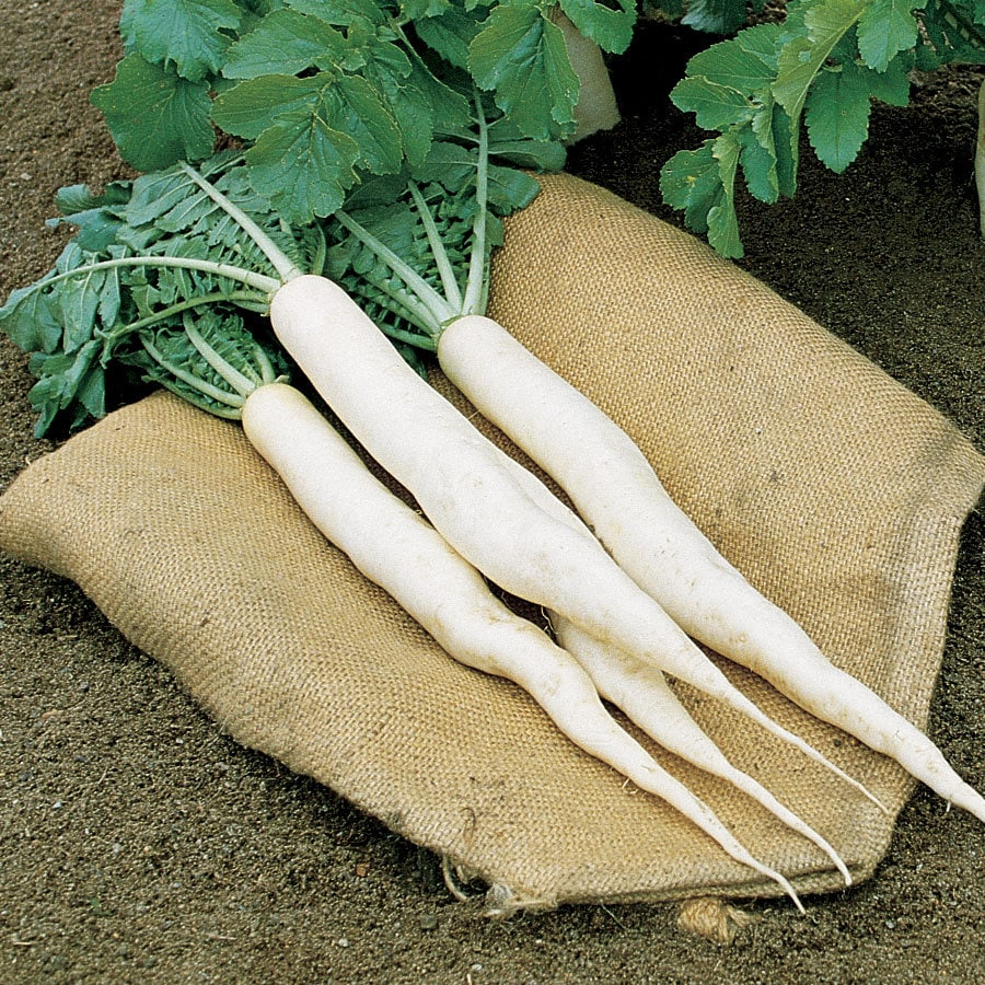 Burpee Daikon Long Radish Seed Packet