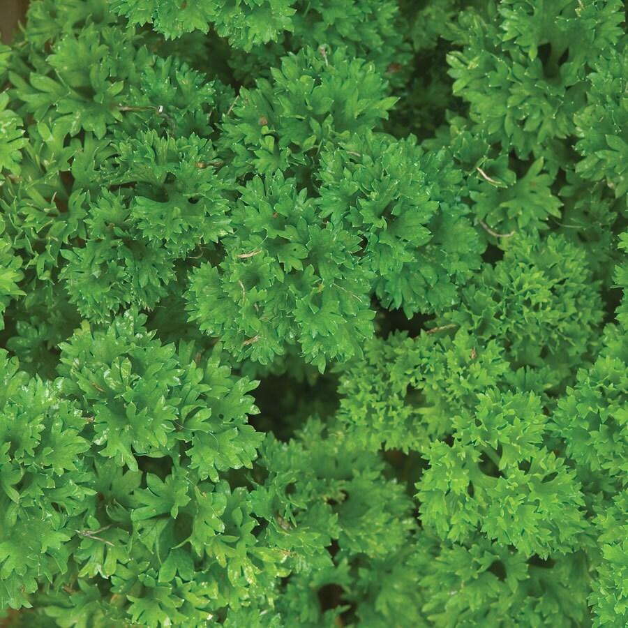 Burpee Triple Curled Parsley Seed Packet