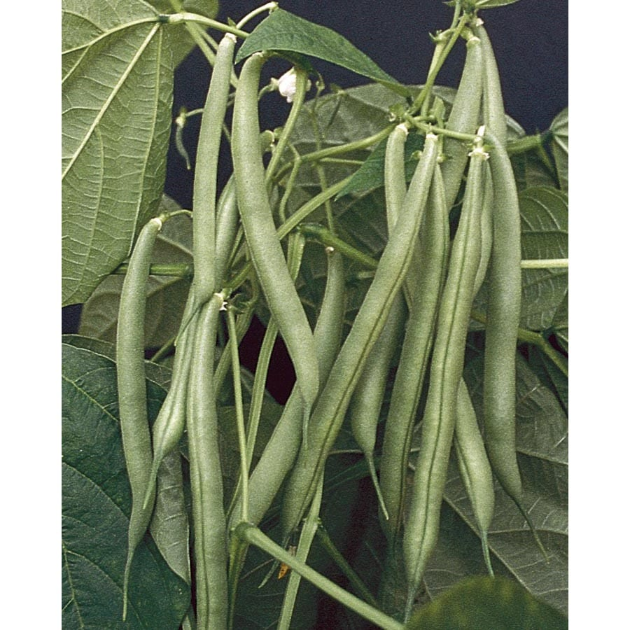 NK Top Crop Bush Bean Plant (LB22074)