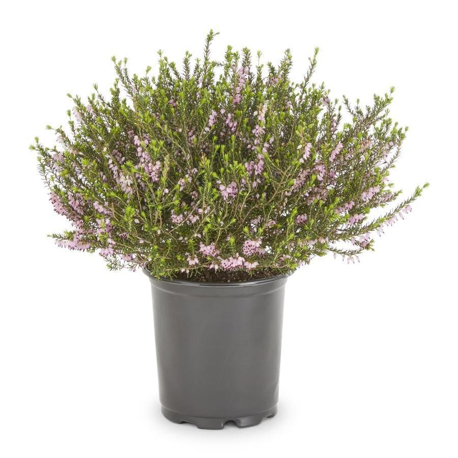 2.5-Quart Multicolor Mediterranean Heather Flowering Shrub (L25718)